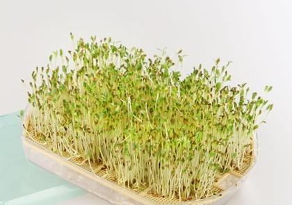 Cultivar germinados con los niños … divertido y muy saludable